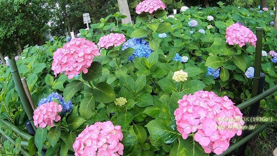 6月の京都 藤森神社のあじさい祭りへ!