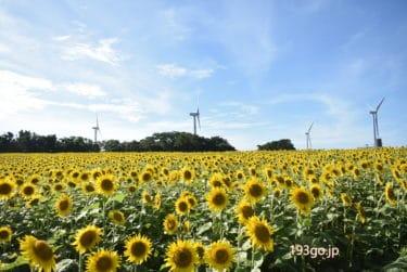 【千葉 銚子】ひまわり×風車がフォトジェニック!憧れの一面ひまわり畑